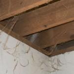 Spinnenwebben in je stal zijn gevaarlijk