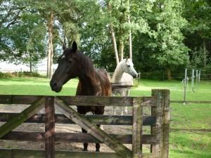 Hassan en Hidalgo werden verzorgd door een medewerker van de Paarden Oppas Service