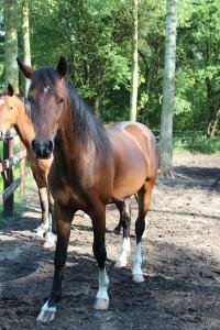 Gelderse paarden