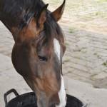 Hoeveel water heeft mijn paard nodig? De Paarden Oppas Service informeert