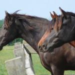 De Paarden Oppas Service onderzoekt de Mangalarga Marchador