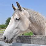 De Paarden Oppas Service over de Mangalarga Marchador