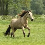 Mangalarga Marchador op Paarden Oppas Service