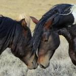 De Paarden Oppas Service onderzoekt: Mustangs